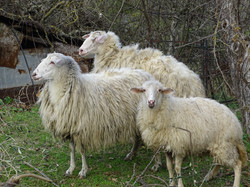 Goats in Kokkini