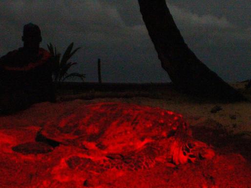 Tartaruga Sada a mais ameaçada do Atlântico | Hawksbill turtle the most threatened of the Atlantic