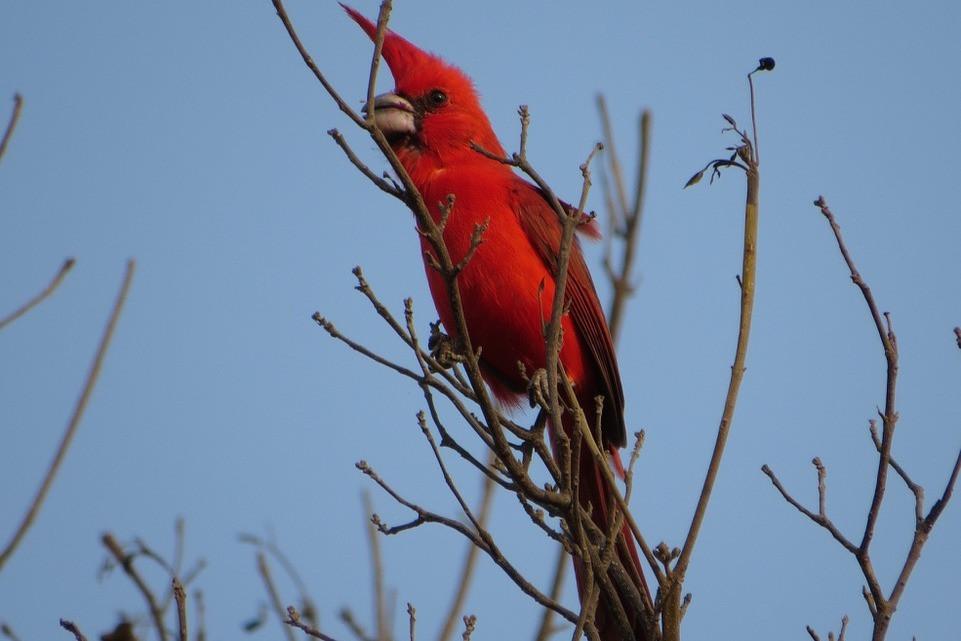 Cardinalis%20phoeniceus_CE_Nick%20Bayly_
