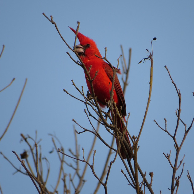 Cardinalis phoeniceus_CE_Nick Bayly.jpeg