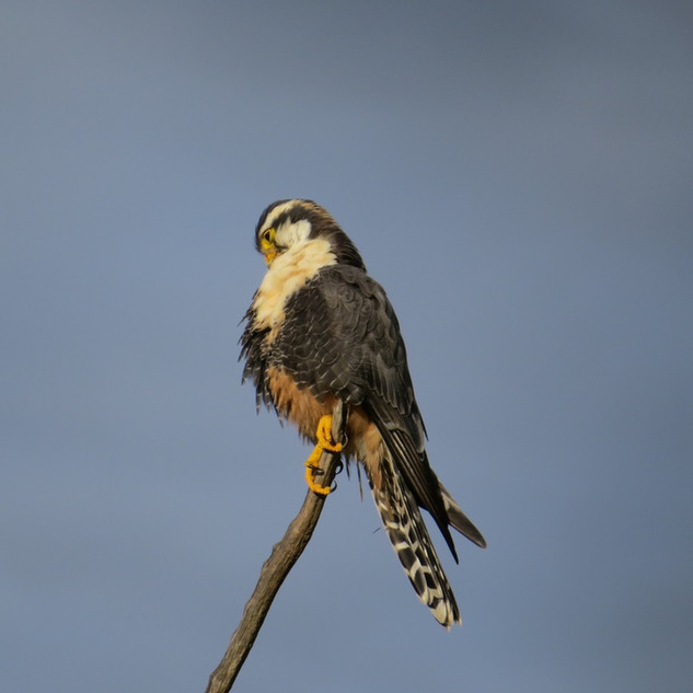 Falco femoralis_R_Nick Bayly.jpeg