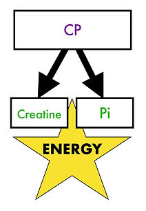 Immediate energy released from creatinephosphate