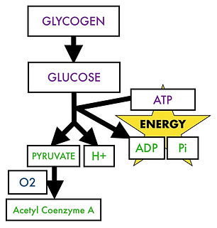 Glycolysis in the presence of sufficient oxygen.