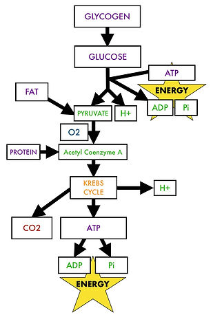 Glycolysis and the Krebs cycle.