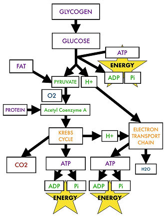 Glycolysis, the Krebs cycleI and Electron Transport Chain.