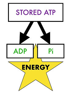 Immediate energy released from stored ATP.