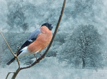 Gimpel im Winter.jpg