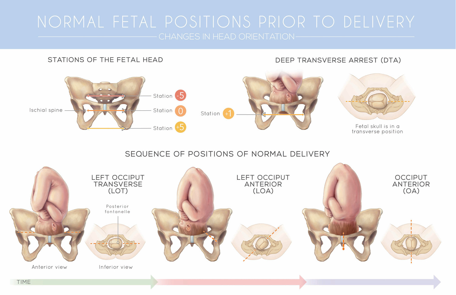 Normal Fetal Positions Prior to Delivery