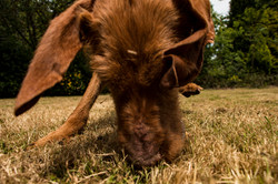 Hungarian Wirehaired Vizsla play