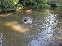Spaniels in the water