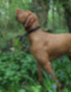 Humgarian Wire Haired Vizsla