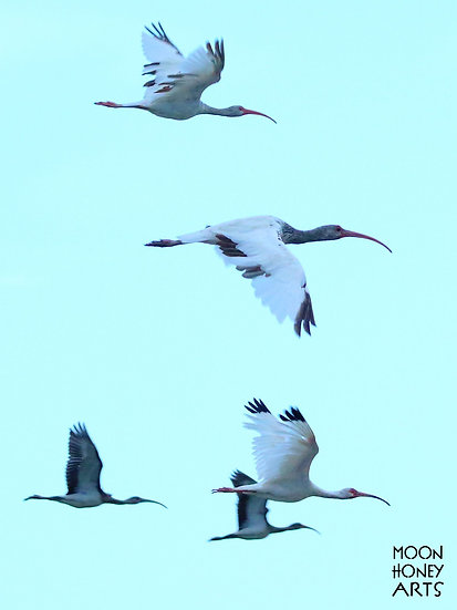 Ibis Flying Home