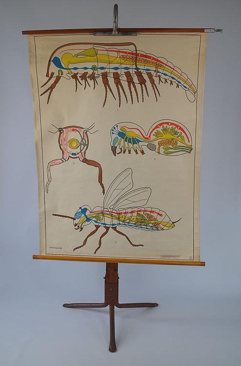 Vintage schoolkaart van anatomie van de geleedpotigen, jaren '70