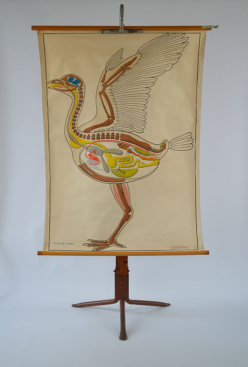 Vintage schoolkaart van de gewervelde vogels, jaren '50
