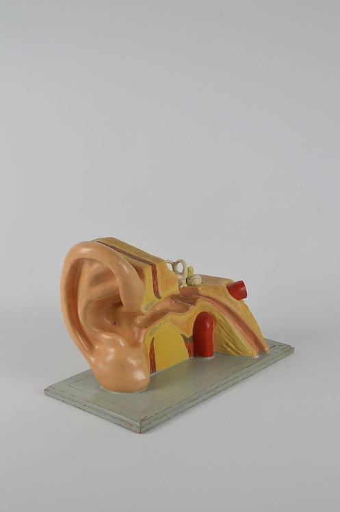 XXL Anatomisch model in plaaster van het oor
