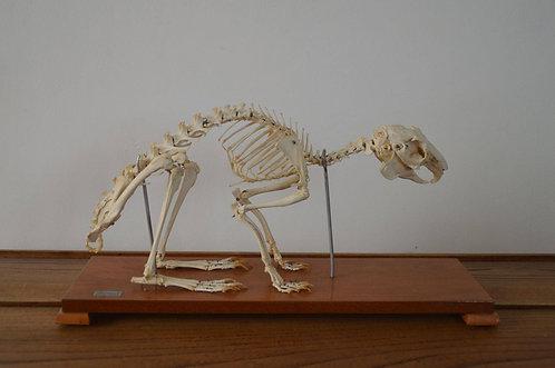 Taxidermie skelet van konijn op houten sokkel