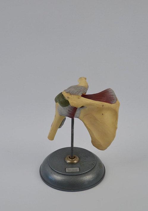 Anatomisch model van de schouder, jaren '50