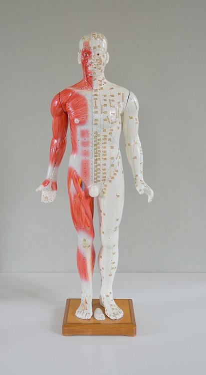 Mooi geïllustreerd en gedetailleerd acupunctuur model (± 87 cm hoog)