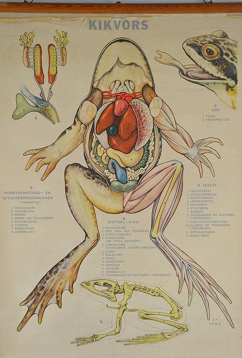 Didactische schoolkaart op linnen over de kikvors, jaren '60