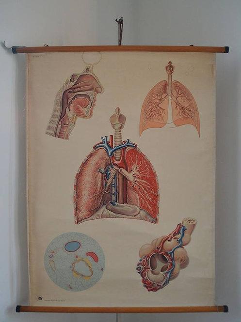 Prachtige vintage schoolkaart over de ademhalingsorganen van de mens