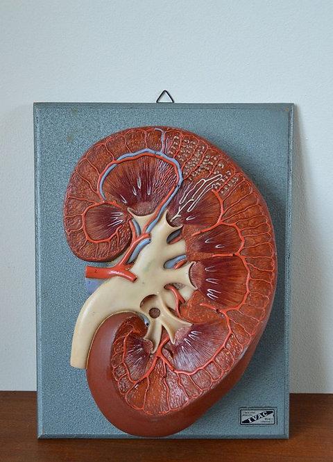 Antiek model van de menselijke nier