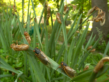 The Cicadas are coming to Maryland. Here's what you need to know about Brood X
