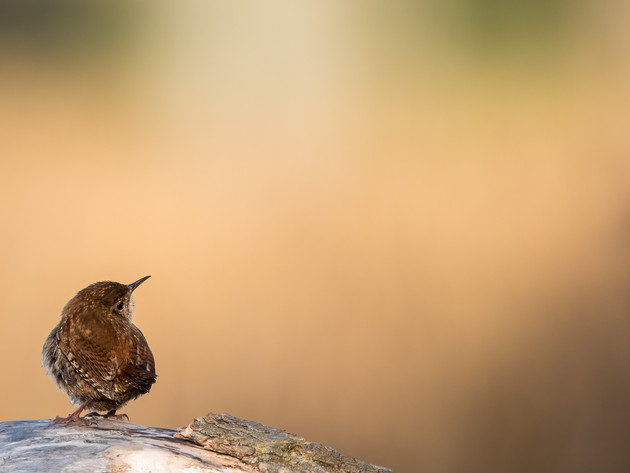 Getting closer to Wrens