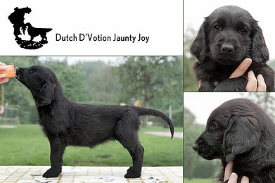 Dutch D'Votion Jaunty Joy.jpg