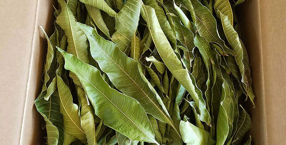 Dried Mango Leaves
