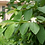 Thumbnail: Dried Guava Leaves
