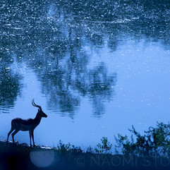 Impala by the water
