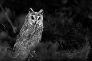 Owl. A short eared owl