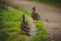 Enten auf der Flucht