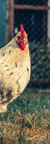 Huhn als Haustier.