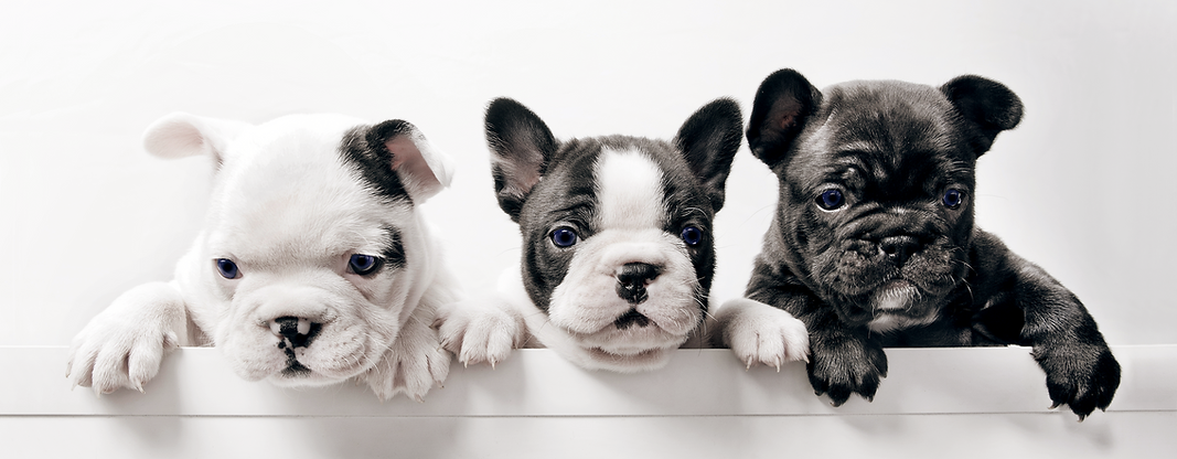 Three French Bulldog Puppies Can't Wait for Their Pet Sitter to Visit