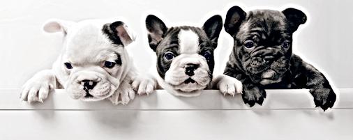 Chiots bulldogues français