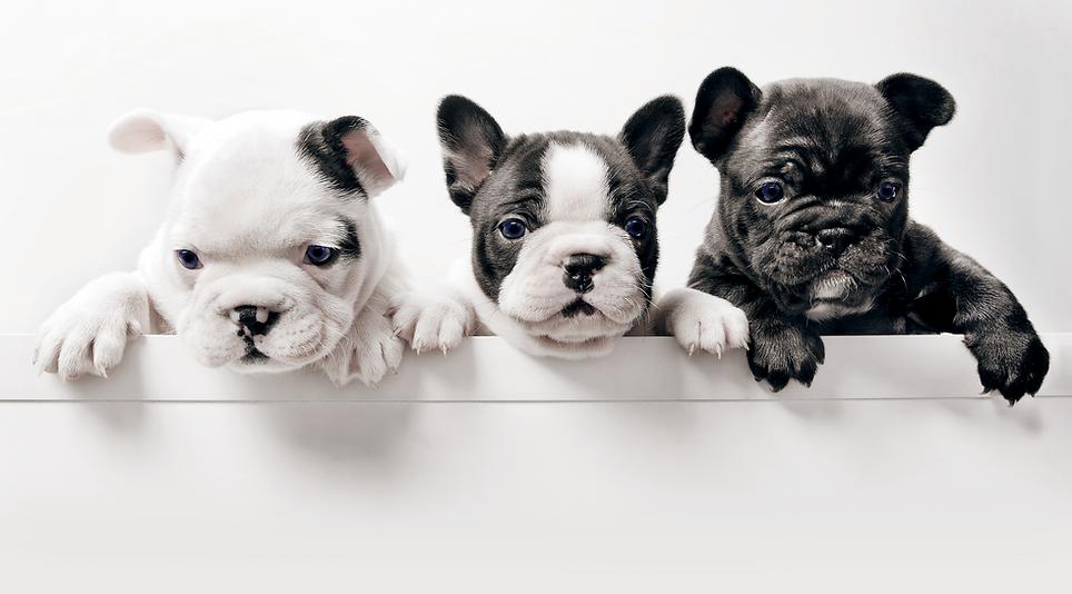 Trois chiots Bullgod Français