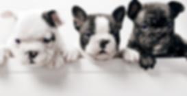 Three French Bullgod Puppies