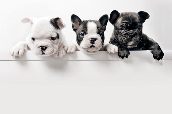 Três filhotes de cachorro francês bullgo