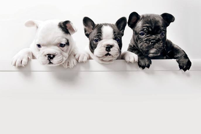 Three French Bulldog Puppies Tweed Heads Dog Walker & Pet Sitter
