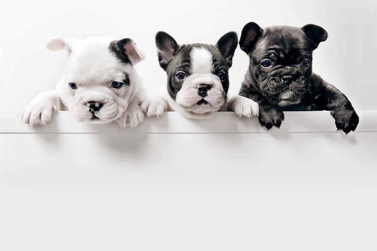 三匹のフランス語Bullgod子犬