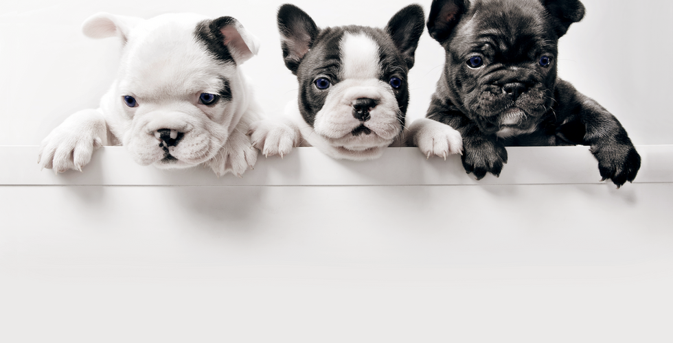 Three French Bullgod Puppies