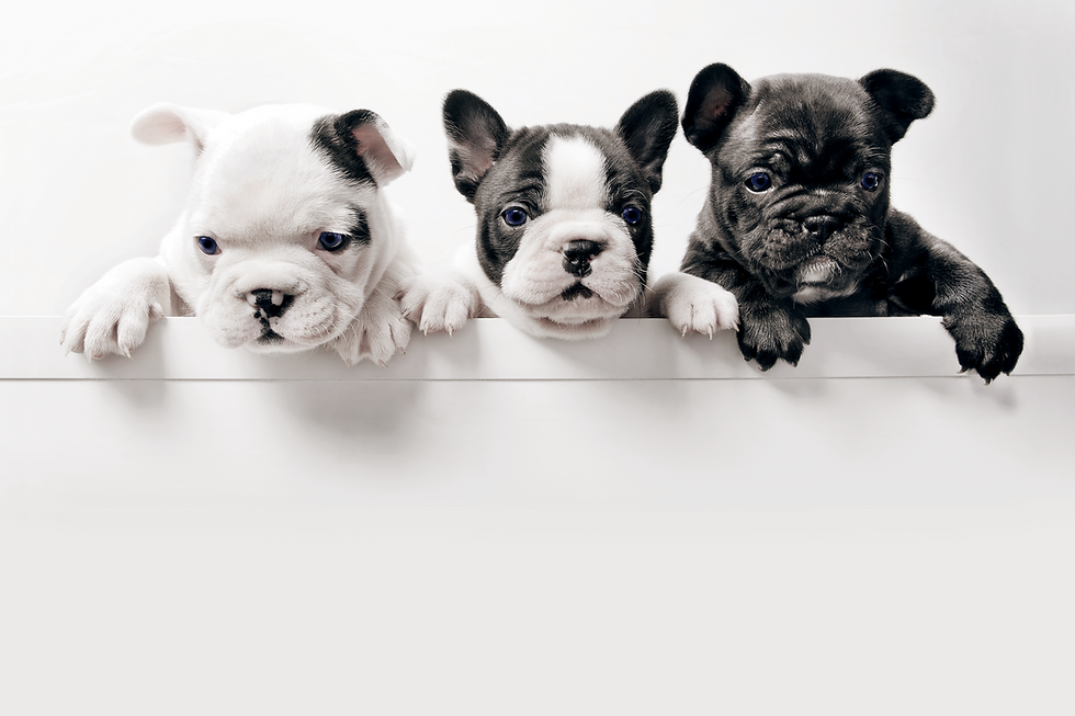 Three black and white bulldog puppies with paws hanging over a white wall