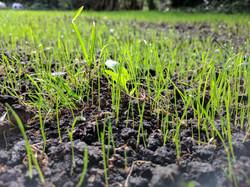 Grass Seeding & Fertilization