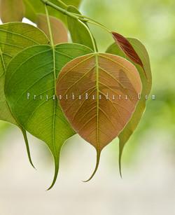 Bo leafes