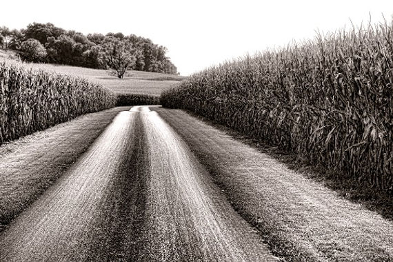Corn_Field_Black_White.jpg