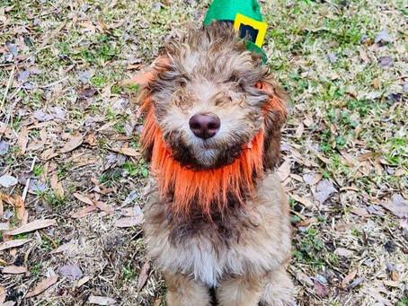Happy St. Patrick's Day! #minisablebernedoodle #reece