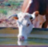 cattledrinking.jpg