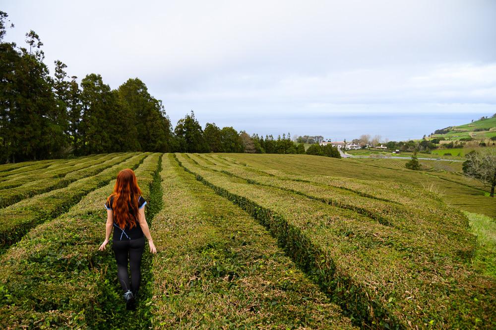 Gorreana tea plantation at Sao Miguel, Azores.