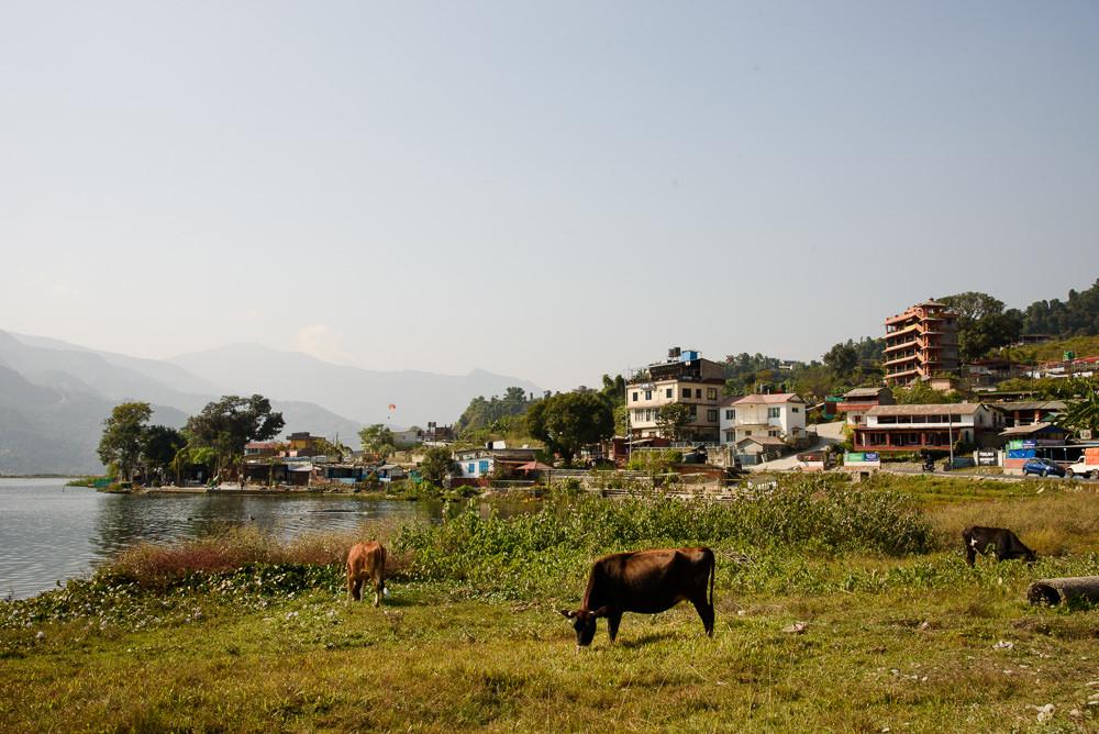 Krávy se pasou u jezera Phewa, Pokhara.